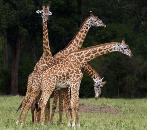 theanimalblog:  Four giraffes look almost like a four-headed beast as they fight for dominance in a clearing in the Masai Mara reserve in Kenya Picture: Paul Mckenzie / Barcroft Media