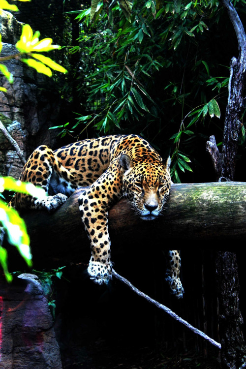 phototoartguy:  | Jaguar | Flickr - Photo Sharing! @flickr.com by Isabella Plarc