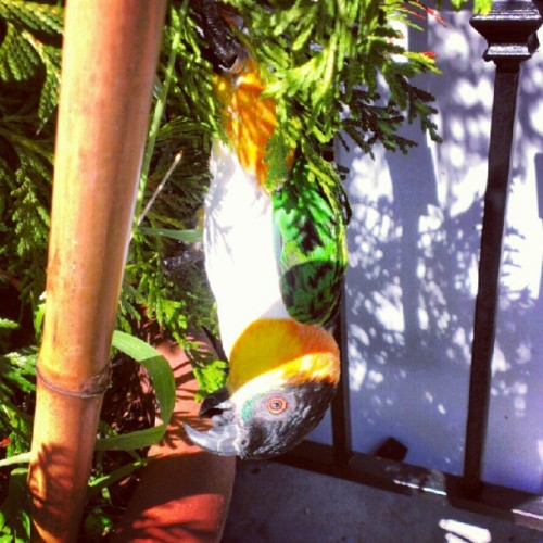 He's swinging hehe :) #caique #parrot #bird  (Taken with Instagram)