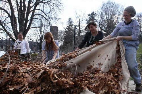 Every winter as the first freeze approaches, Yale Farm student interns hustle to cover up our fig tree, packing it with burlap to insulate it from chilly temperatures dipping too low for its Mediterranean sap to handle. Last fall we were hit with a freak blizzard on the last day of October and feared the worst; our tree looked like it was down for the count. In late spring, though, it started bouncing back, sending out leafy shoots from the base, apparently still vital. It turns out that urban gardeners all over the northeast, particularly in Brooklyn, have successfully kept these hearty plants in abundance despite being pretty far from its native climes. We're hoping for a harvest in the next few months— and looking forward the fig and ricotta pizzas we'll get to make when that happens!
