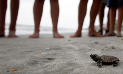 oscarraymundo:  A loggerhead turtle hatchling makes its way to the surf, as tourists and volunteers look on, at South Litchfield Beach, S.C. During the nesting season, volunteers of the South Carolina United Turtle Enthusiasts walk the area's beaches daily looking for signs of turtle activity, and keeping tabs on the progress of the endangered turtles that lay eggs along the coast.  Does this group offer vacation pacakages? Because this is my life dream.