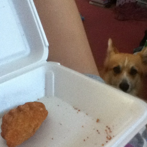Poor Tails really wanted that chicken finger :(