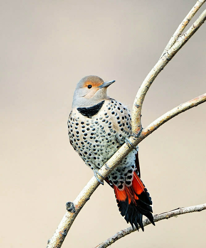 Northern Flicker    (by ThomasChamberlin)
