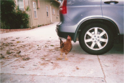 chicken in the backyard by Natasha Carlos