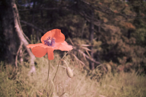 Poppy on Flickr.