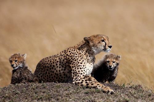 Cheetah mother and cubs (by photojem2009)