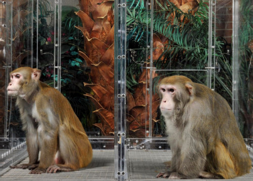 For 25 years, the rhesus monkeys were kept semi-starved, lean and hungry. The males' weights were so low they were the equivalent of a 6-foot-tall man who tipped the scales at just 120 to 133 pounds. The hope was that if the monkeys lived longer, healthier lives by eating a lot less, then maybe people, their evolutionary cousins, would, too. Some scientists, anticipating such benefits, began severely restricting their own diets. The results of this major, long-awaited study, which began in 1987, are finally in. But it did not bring the vindication calorie restriction enthusiasts had anticipated. It turns out the skinny monkeys did not live any longer than those kept at more normal weights. Some lab test results improved, but only in monkeys put on the diet when they were old. The causes of death — cancer, heart disease — were the same in both the underfed and the normally fed monkeys.