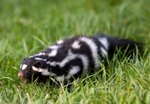 Western spotted skunk Waitwaitwait GO BACK. I saw something about a nutty shit.