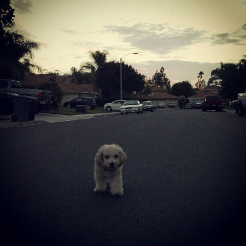 Me and this dude… early morning walk. #olivertheminipoodle #ontheroad   (Taken with Instagram)