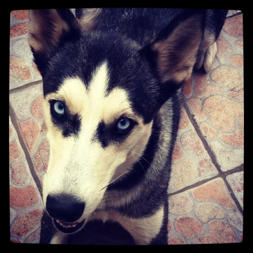 Dasha #dog #alaska #pet  (Taken with Instagram)