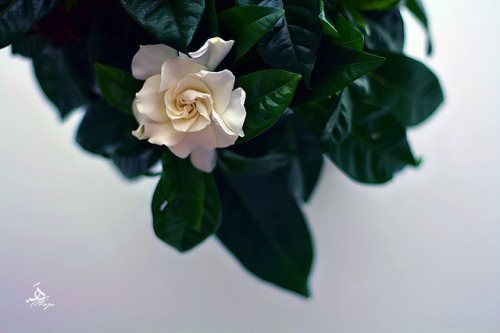 Gardenia on Flickr.
