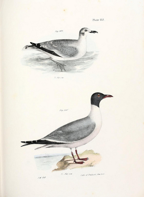 The Laughing Gull, Leucophaeus atricillaby BioDivLibrary on Flickr. Zoology of New York;.Albany :W. A. White J. Visscher :1842-44..biodiversitylibrary.org/page/1986772