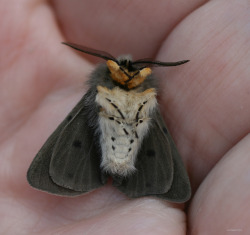 fyeahcutemoths:  Muslin moth playing 'dead' just look at it AAaaaaa
