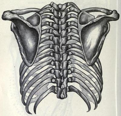 Thorax and shoulder girdle The shoulder girdle is also known as the pectoral girdle. It consists of the clavicle and scapula, and connects the upper limbs of the body to the axial skeleton (the parts that aren't in the chest or abdomen). Unlike the pelvic girdle, the pectoral girdle in humans is almost completely non-weight-bearing, and fairly fragile - anyone who has landed hard on their arms (which have very strong bones), but broken their clavicle (with its weak structure), can tell you this in graphic detail. Gray's Anatomy. Henry Gray et al, 1911.
