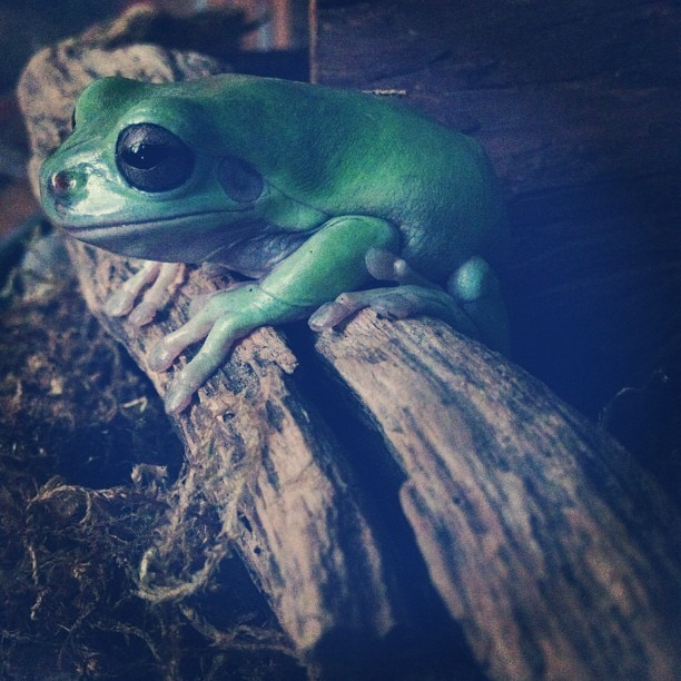 Just fed him a grasshopper 🐸👍 #frog #treefrog #whitestreefrog #green #animal #pet #chillin #beinafrog #amphibian #grasshopper  (Taken with Instagram)