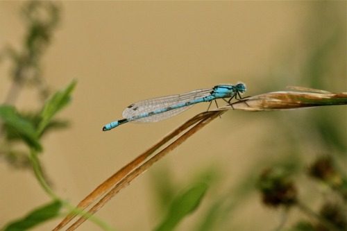 Common blue damselfly (Enallagma cyathigerum) by zoo-logic