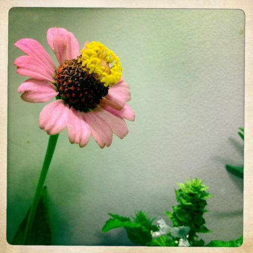 Accidentally cut a zinnia today. Yay! says the kitchen. #gardendc #flowers #fromseed John S Lens, Ina's 1969 Film, No Flash, Taken with Hipstamatic