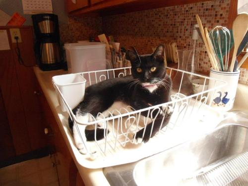 get out of there cat. you are not a freshly washed dish. you are a cat. you don't even like soap.