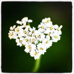 Yarrow in a heart…,  (Taken with Instagram)