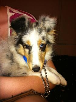 shiloh-sheltie:  What should this little girl be named!!  She's a 3 month old blue merle bitch. Reblog with the name you like the most!!