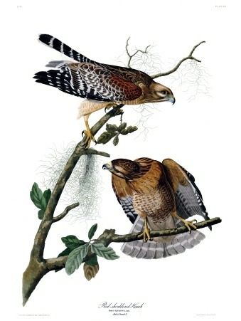 Plate 56 of The Birds of America by John Audubon, the Red-shouldered Hawk.