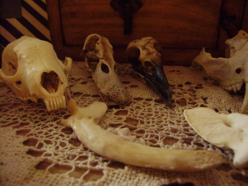 small collection of bones racoon/duck/crow/opossum/chihuahua jawbone