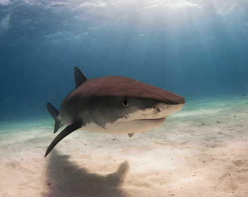 tiger shark 30 by AlKok on Flickr. tiger shark-bahamas