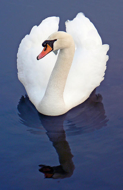 Mute Swan (Reflection) by Cj Roberts on Flickr.