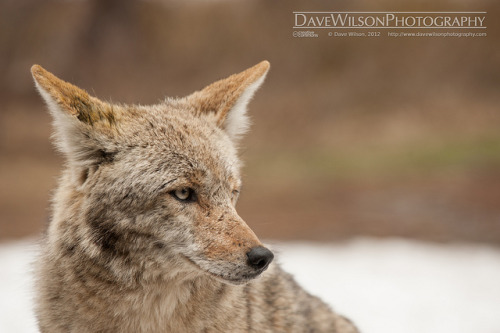 Coyote, Yosemite National Park by DaveWilsonPhotography on Flickr.