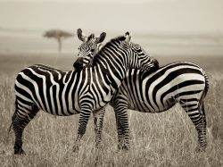 wild-earth:  Zebra Pair, Kenya