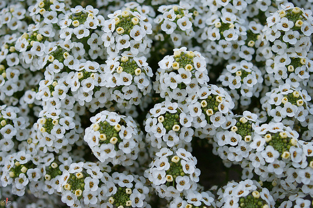 fleurs 5 by laurentmorand on Flickr.