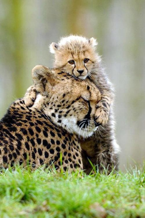 w-ildbutterfly:  funnywildlife:  Cheetah Love !!  ❀ ✿ Lose yourself in the jungle! ✿ ❀
