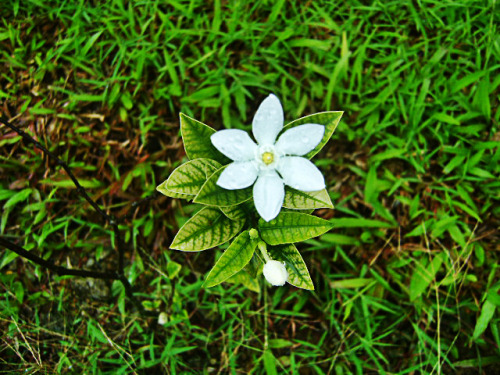 The gift of Nature (Part IV) - White flower screams simplicity and purity. I love how they're simple yet pretty they could be! :)