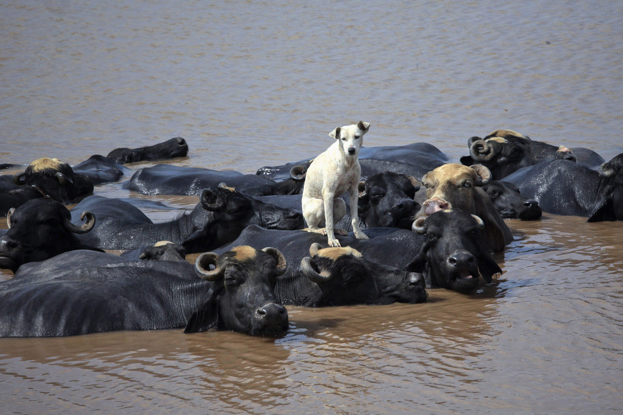 Aug. 28, 2012. A dog sits on a buffalo who is cooling off in the Ravi River in Lahore, Pakistan. From Hurricane Isaac in the Caribbean and colorful Holi celebrations in Germany to the Paralympics in London and a tree full of goats in Morocco, TIME presents the best images of the week. See more photos here.