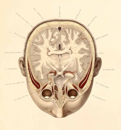 Transverse section of the head from Topographisch-anatomischer atlas nach durchschnitten an gefrorenen cadavern by anatomist Wilhelm Braune and artist C. Schmiedel. This is such a beautiful work of art. Created in the late 19th century, it becomes even more impressive when you discover that it was created through a process of chromolithography, a painstakingly slow process that required both patience and precision.