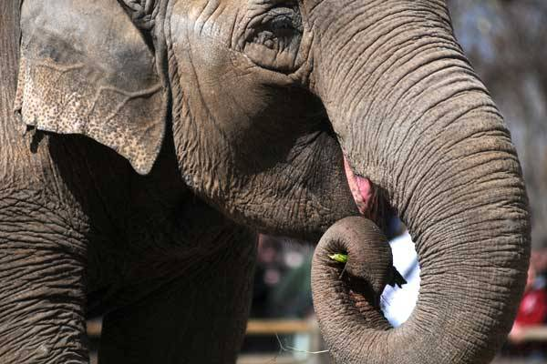 "Health of Mimi the elephant, aging Denver Zoo icon, in steep decline Mimi is an old girl — the grand dame of the Denver Zoo, where she has ruled the roost since 1961 in spite of her shyness. She is at least 53, and elephants, under human care and in the wild, have an average life span of just over 44 years. Mimi's slow decline has been steeper lately and harder to watch. Tender feet, sore joints and a slower gait have been apparent for a while — but when their ""big-boned"" girl recently lost her legendary appetite, zookeepers started thinking about the end. ""Mimi is one of the most beloved animals in the zoo,""  said Craig Piper, Denver Zoo president and chief executive. ""We want everyone in Denver to understand how precious she is."" But it may be time for the community to prepare to say goodbye."