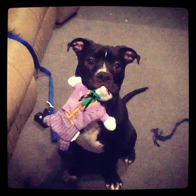 Haha Bruce vs. The Joker #pitador #pitbull #dontbullymybreed #dogsofinstagram #pitsofinstagram #batman #joker #sbt #bestfriend  (Taken with Instagram)