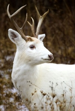 earthlynation:  white buck by source