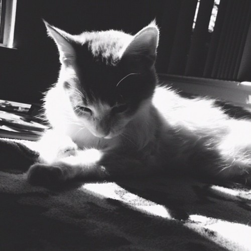 :3 #finn #cute #fuzzy #blackandwhite #cat #kitty #sunshine  (Taken with Instagram)
