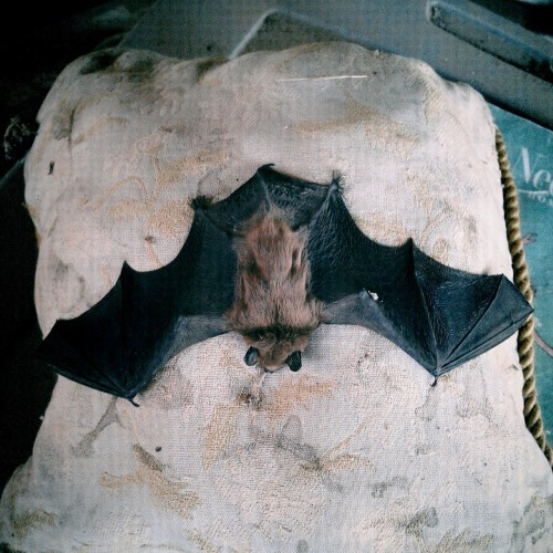 244 / 083112 / dead pillow bat.