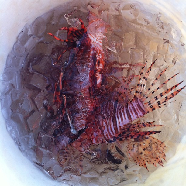 3 caught on our lionfish hunt (Taken with Instagram)