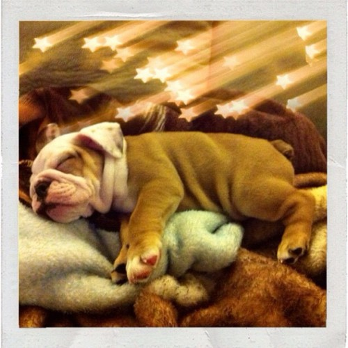 aplacetolovedogs:  From @fg_lola #ig #sleepy #adorbz (Taken with Instagram)  D'awww such a cutie <3 I loveeeee #bulldogs