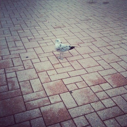 seagulls easily tie with foxes for favorite animal (Taken with Instagram)