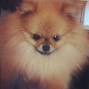 🐻 #dog #dogs #aww #animal #instadogs #instapets #pet #puppy #pomeranian #pictureoftheday #photooftheday #spitz #love #lovely #cute #beautiful