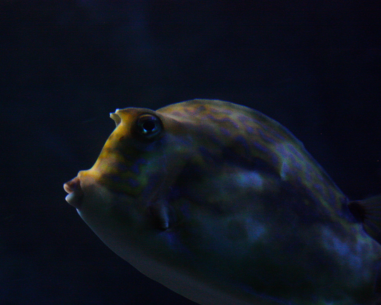 Visitor picture: Night-y-night, all. ldubyahsphotos:  Cowfish at the New England Aquarium. Taken by Leann Westin during Myrtle's House Party!