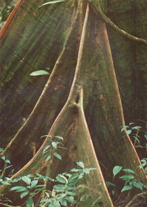 STRANGLER FIG In the rainforest where there is intense competition for light, a bird will drop seeds atop a tree and they will sprout. Initially they make their life living off the host tree and growing leaves that capture the sun. At the same time, they send down roots until they hit the ground. Then the roots grow as the narrow planes almost like buttresses, shown above. Strangle figs are parasitic and eventually can kill the host tree and live out their lives as a columnar tree with a hollow center. While figs (ficus) are the most common, also common behavior with some vines and banyans - this might actually be a banyan.