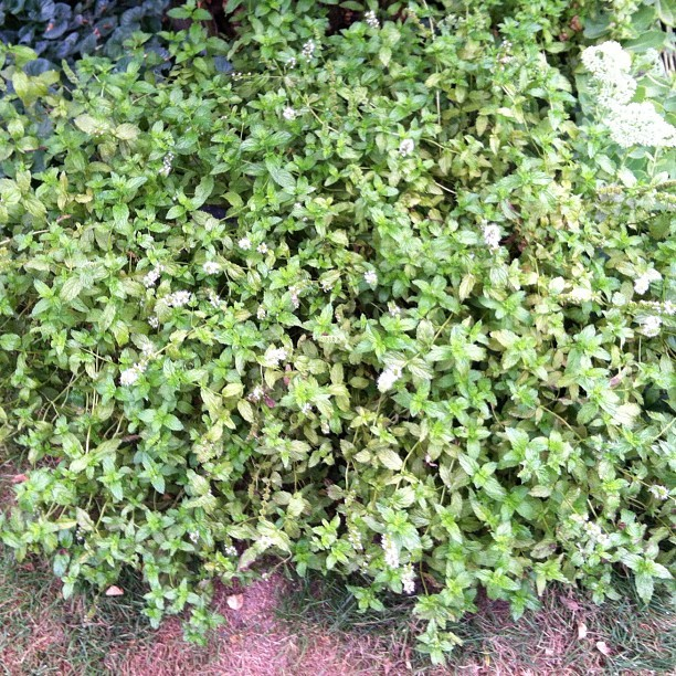 This is what mint does. Grows out of control! (Taken with Instagram)