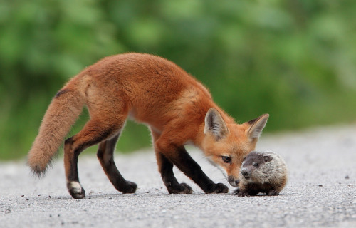 a-m-a-z-o-n:  Fox Kit and Baby Groundhog by Danny Brown