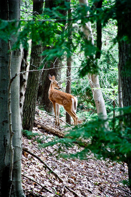 epiccampvibes:  Bambi by numstead on Flickr.