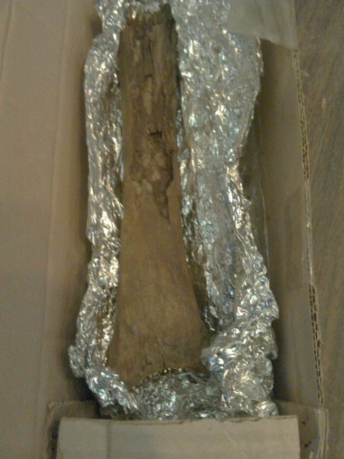 This was also dropped off today. This is a deinonychus tibia. Life is good!